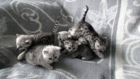 Foto 16 Reinrassige Britisch Kurzhaar Katzenbabys Babykatzen vom Züchter