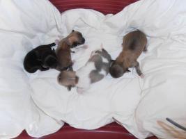 Reinrassige Chihuahua