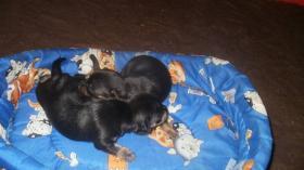 Reinrassige Chihuahua Rüden weiß mit schoko
