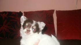 Foto 2 Reinrassige Chihuahua Rüden weiß mit schoko