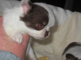 Foto 5 Reinrassige Chihuahua Rüden weiß mit schoko