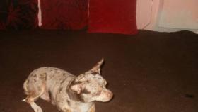 Foto 6 Reinrassige Chihuahua Rüden weiß mit schoko