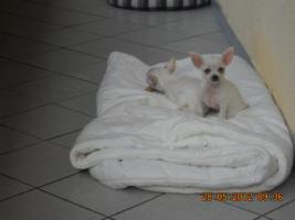 Reinrassige Chihuahua Weibchen