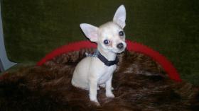 Reinrassige Chihuahua-Welpen