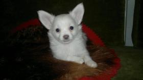 Foto 2 Reinrassige Chihuahua-Welpen