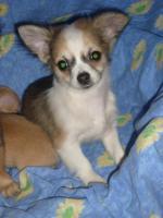 Reinrassige Chihuahua Welpen aus Deutscher Liebhaber Zucht