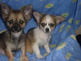 Foto 2 Reinrassige Chihuahua Welpen aus Deutscher Liebhaber Zucht