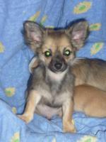 Foto 3 Reinrassige Chihuahua Welpen aus Deutscher Liebhaber Zucht