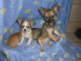 Foto 4 Reinrassige Chihuahua Welpen aus Deutscher Liebhaber Zucht