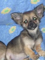 Foto 5 Reinrassige Chihuahua Welpen aus Deutscher Liebhaber Zucht