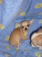 Foto 6 Reinrassige Chihuahua Welpen aus Deutscher Liebhaber Zucht