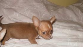 Foto 2 Reinrassige Chihuahua Welpen interessante Farben