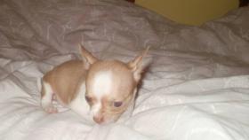 Foto 5 Reinrassige Chihuahua Welpen interessante Farben