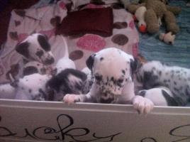 Foto 2 Reinrassige Dalmatiner Welpen zu verkaufen.