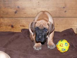 Foto 3 Reinrassige Deutsche Dogge Welpen mit Papiere