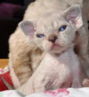 Reinrassige Devon Rex Kitten vom Gaborland