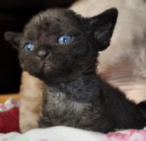Foto 2 Reinrassige Devon Rex Kitten vom Gaborland