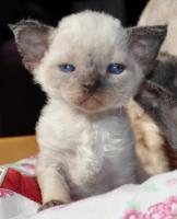 Foto 3 Reinrassige Devon Rex Kitten vom Gaborland