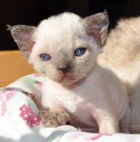 Foto 4 Reinrassige Devon Rex Kitten vom Gaborland