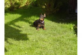 Foto 2 Reinrassige Dobermann-Welpen zu geben