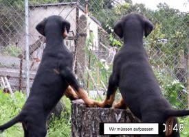 Foto 4 Reinrassige Dobermannwelpen