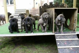 Reinrassige Dogo Canario Welpen