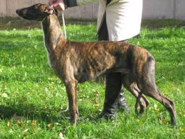 Reinrassige Greyhound Welpe mit Papiere abzugeben