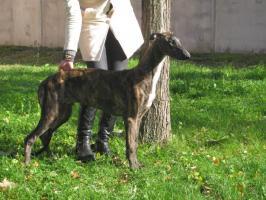 Foto 2 Reinrassige Greyhound Welpe mit Papiere abzugeben