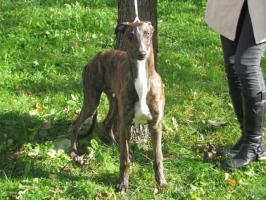 Foto 3 Reinrassige Greyhound Welpe mit Papiere abzugeben