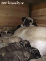 Foto 3 Reinrassige Kangal Welpen (Anatolischer Hirtenhund)
