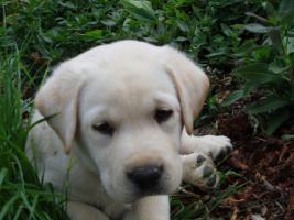 Foto 2 Reinrassige Labrador Welpen