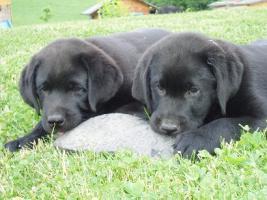 Foto 3 Reinrassige Labrador Welpen