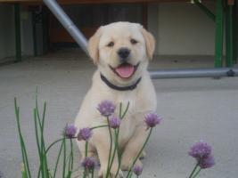 Foto 4 Reinrassige Labrador Welpen