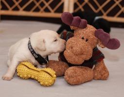 Reinrassige Labradorwelpen!