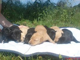 Foto 3 Reinrassige Labradorwelpen