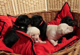 Foto 2 Reinrassige Labradorwelpen aus liebevoller Familienhaltung!