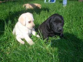 Reinrassige Labradorwelpen zu verk.