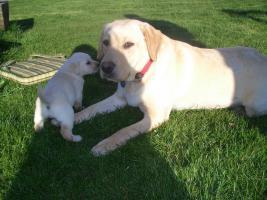 Foto 4 Reinrassige Labradorwelpen zu verk.