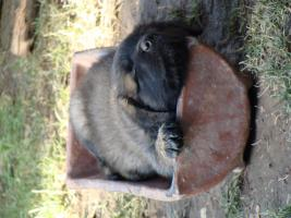 Foto 2 Reinrassige Leonbergerwelpen Leonberger