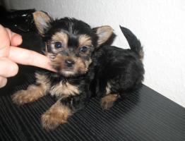 Foto 2 Reinrassige MINI Rüde Yorki baby zu verkaufen
