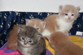 Reinrassige Main Conn Katzenbabys