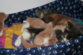 Foto 2 Reinrassige Main Conn Katzenbabys