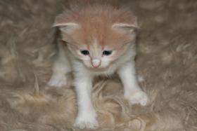 Foto 3 Reinrassige Main Conn Katzenbabys