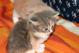 Foto 4 Reinrassige Main Conn Katzenbabys