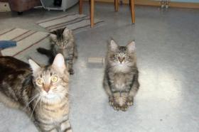 Reinrassige Main Coon Katzen mit Papieren abzugeben!
