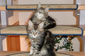 Foto 2 Reinrassige Main Coon Katzen mit Papieren abzugeben!