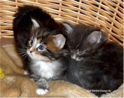 Foto 2 Reinrassige Maine Coon Babys
