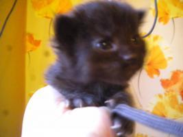 Foto 6 Reinrassige Maine Coon Kitten