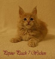 Foto 2 Reinrassige Maine Coon Kitten