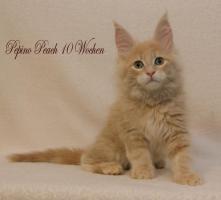 Foto 4 Reinrassige Maine Coon Kitten
